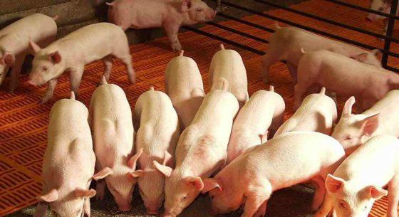 Раціон свиней на відгодівлі